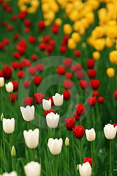 Tulip Royalty Free Stock Images - Image: 14409049