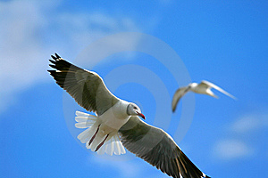 Flying Seagull Stock Photography - Image: 14410512