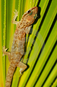 Wild Lizard Royalty Free Stock Photography - Image: 14410877