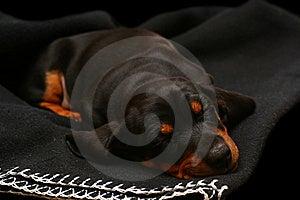 Sleeping Dachshund Royalty Free Stock Image - Image: 14411776