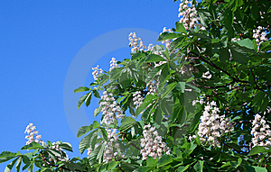Blossoming Chestnut Branch Royalty Free Stock Photo - Image: 14412195