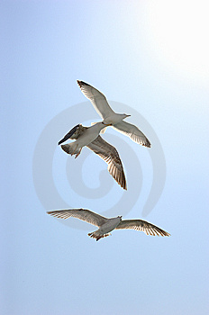Three Seagulls Royalty Free Stock Photo - Image: 14417845
