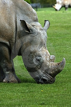 Africa Rhinoceros Royalty Free Stock Photography - Image: 14425197
