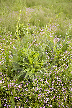 Wild Purple Flowers In A Meadow Royalty Free Stock Photography - Image: 14425627