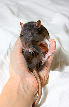 Small Rat Royalty Free Stock Images - Image: 14425729