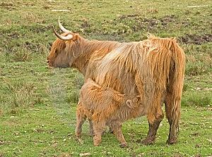 Vache Des Montagnes Avec Le Veau Au Bas De La Page. Image libre de droits - Image: 14426296