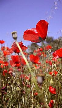 Poppy Royalty Free Stock Images - Image: 14426519