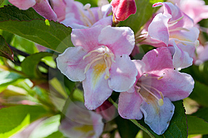Close Up Of Beautiful Blooming Peach Tree Royalty Free Stock Photography - Image: 14427167