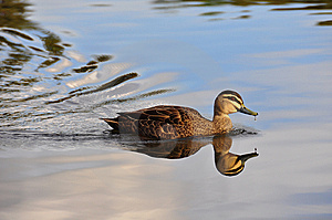 Peace And Stillness - Swimming Duck Royalty Free Stock Image - Image: 14428886