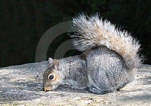 Grey Squirrel. Royalty Free Stock Photos - Image: 14430228