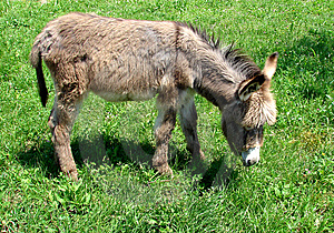 Little Donkey Eating Grass Stock Images - Image: 14432944