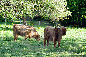Highland Cows 1 Stock Image - Image: 14434611
