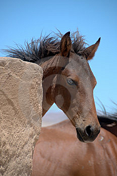 Foal Of A Wild Horse Stock Photography - Image: 14434792