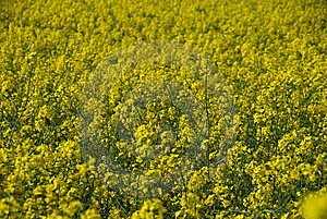Closeup Of Yellow Rape Plants Royalty Free Stock Photography - Image: 14435717