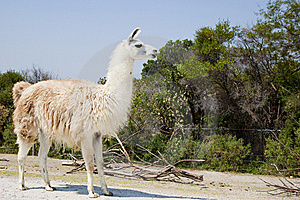 White Lama Stock Photo - Image: 14436810