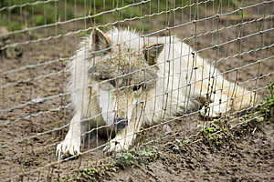 White Timber Wolf Lying Royalty Free Stock Image - Image: 14437846