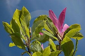 Pink Magnolia Stock Image - Image: 14439761