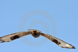 Rough Legged Hawk In Flight Royalty Free Stock Photography - Image: 14439927