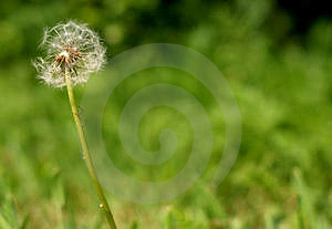 Dandelion Royalty Free Stock Photography - Image: 14441097