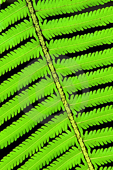 Fern Royalty Free Stock Photography - Image: 14443837