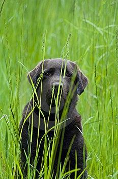 Hiding Labrador Royalty Free Stock Photos - Image: 14446088