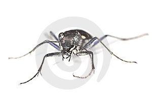 Wood Tiger Beetle (Cicindela Sylvatica) Royalty Free Stock Images - Image: 14449239