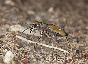 Reen Tiger Beetle (Cicindela Campestris) Royalty Free Stock Photos - Image: 14449278