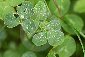 Clover With Water Drops Stock Photo - Image: 14449310