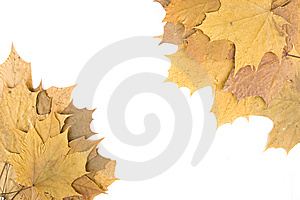 Autumn Maple Leaves Royalty Free Stock Photos - Image: 14449908