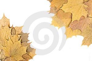 Autumn Maple Leaves Royalty Free Stock Photos - Image: 14449908