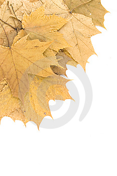 Autumn Maple Leaves Stock Image - Image: 14449971