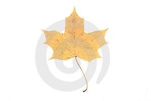 Autumn Maple Leaf Stock Photography - Image: 14450042