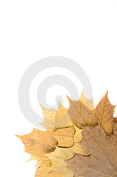 Autumn Maple Leaves Royalty Free Stock Photography - Image: 14450067