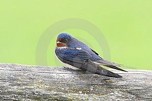 Barn Swallow Royalty Free Stock Photos - Image: 14451818