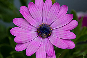 Violet Flower Royalty Free Stock Photography - Image: 14456927