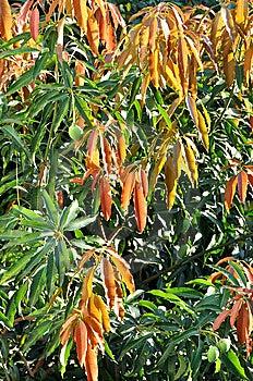 Folhas Brilhantes Da árvore Do Lichee Fotos de Stock Royalty Free - Imagem: 14457738