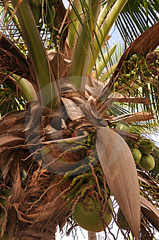 Growing Coconuts Royalty Free Stock Photography - Image: 14458797