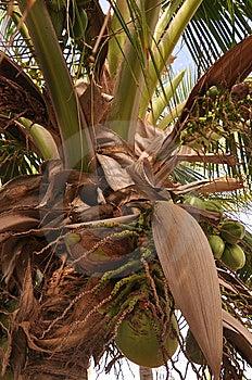 Groeiende Kokosnoten Royalty-vrije Stock Fotografie - Afbeelding: 14458797