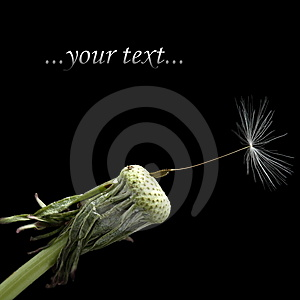 One Seed On Dandelion Royalty Free Stock Photo - Image: 14459845