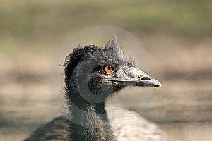 Emu Stock Image - Image: 14460161