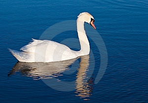 Swan With Reflections On A Clear Blue Lake Stock Photos - Image: 14461583