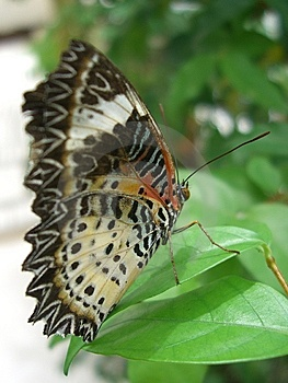 Close Up Butterfly On Leaf Royalty Free Stock Photography - Image: 14461707