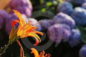 Orange Lilium In Evening Light Stock Photos - Image: 14464083
