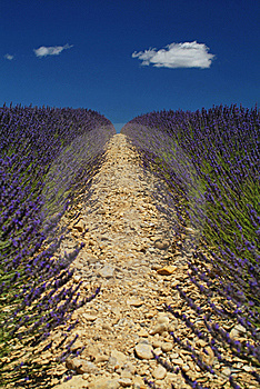 Lavender Fields In Provence France Royalty Free Stock Photos - Image: 14464198