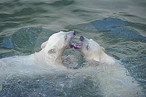 Two Polar Bears Royalty Free Stock Photography - Image: 14466307