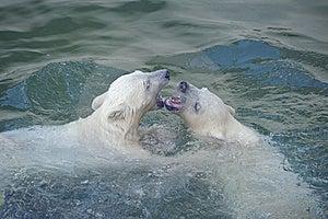 Dois Ursos Polares Fotografia de Stock Royalty Free - Imagem: 14466307
