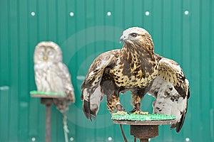Golden Eagle Stock Photos - Image: 14466333