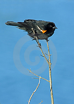 Red Winged Blackbird Perched Stock Photos - Image: 14471863