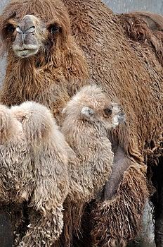 骆驼孩子母亲 免版税库存照片 - 图片: 14472258