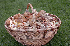 Edible Mushrooms Royalty Free Stock Images - Image: 14473679